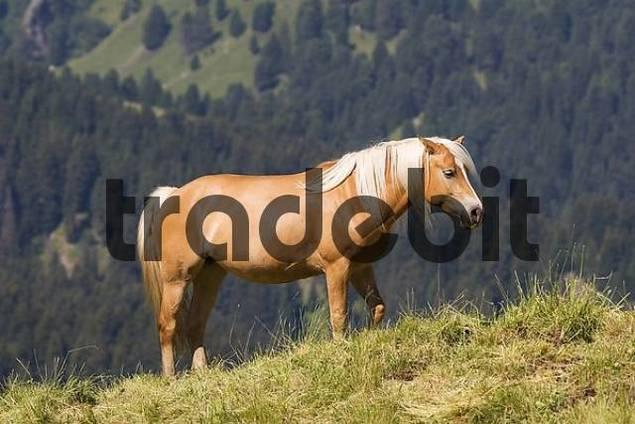 Haflinger horse, Seiser Alm, South Tyrol, Italy