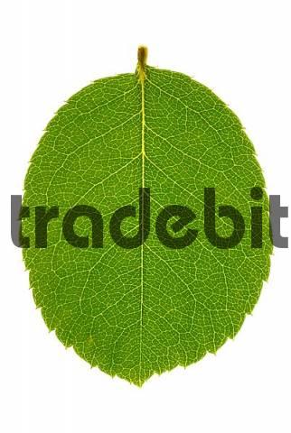 Young leave of hazelnut Corylus avellana