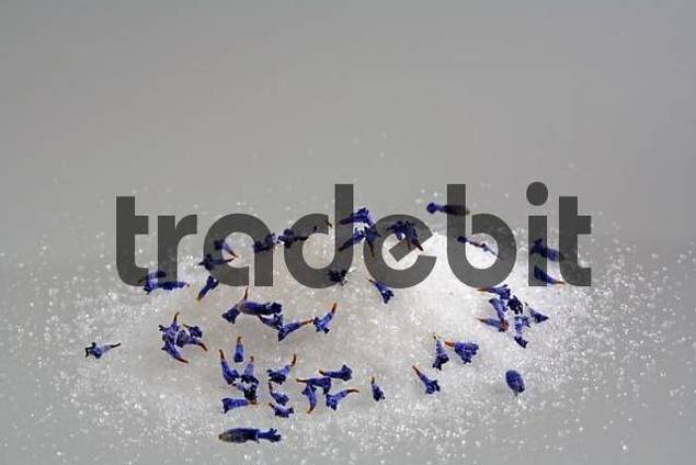 fine grained sugar with dried lavender blossoms