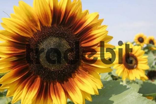sunflowers Helianthus annuus