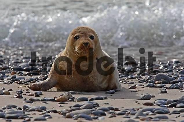 Common Seal Phoca vitulina