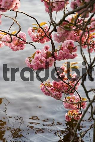 cherry blossoms, Alster Hamburg Germany