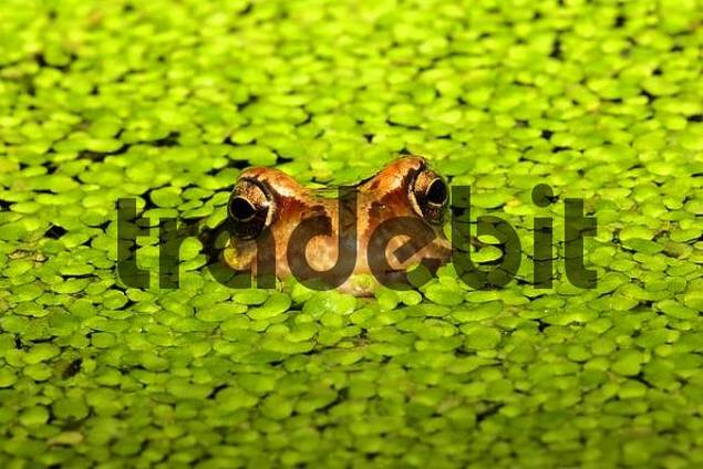 common frog - grass frog sitting in a pond between common duckweeds Rana temporaria Lemna minor