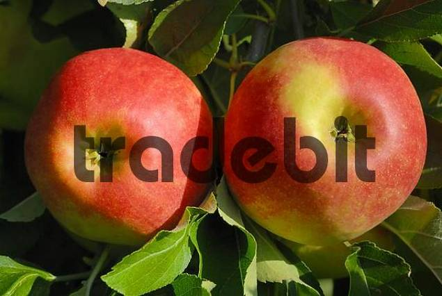 red apples on a tree Malus domestica - Germany, Europe.