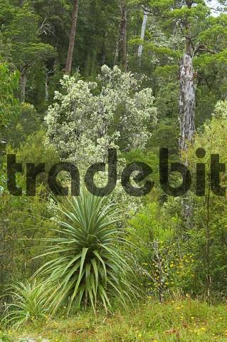 rainforest and flowering leatherwood Eucryphia lucida trees Franklin Gordon Wild Rivers National Park Tasmania Australia