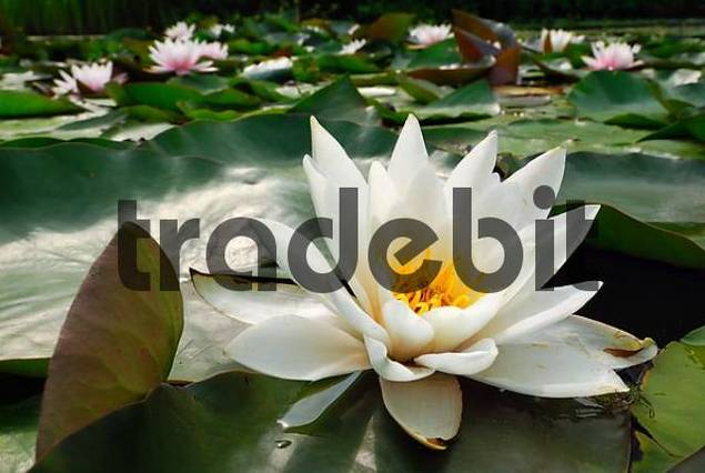 Pond covered with Waterlilies Nymphaea alba