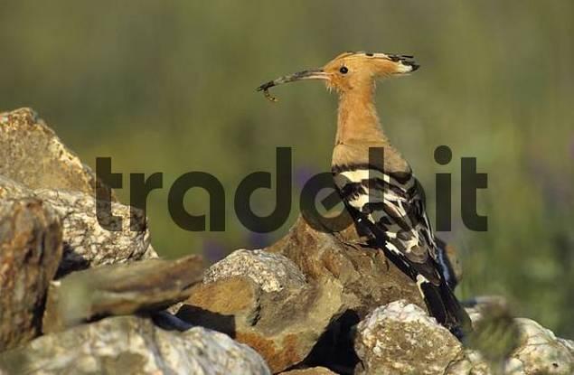 hoopoe brings prey to the nest