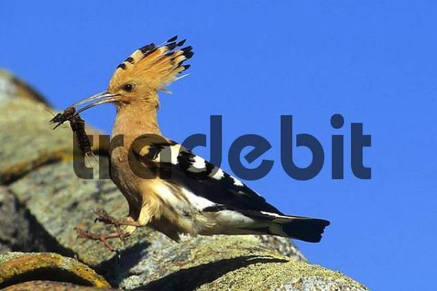 hoopoe with prey landing on a tiled roof