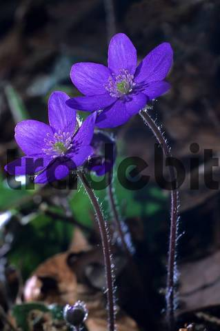 Liverleaf Hepatica nobilis