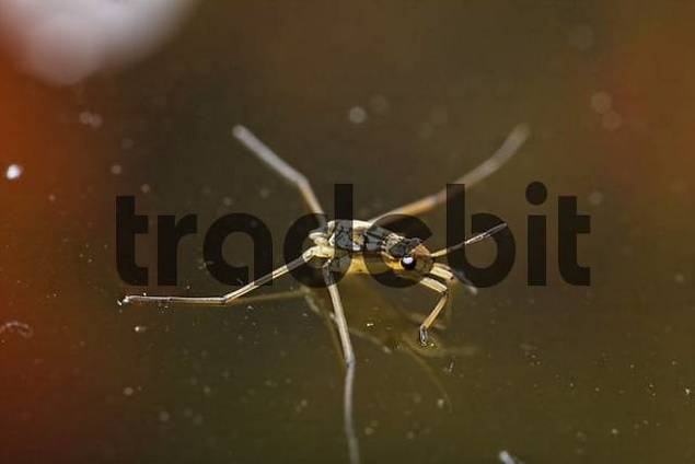 larva of Common pond skater Gerris lacustris, Germany
