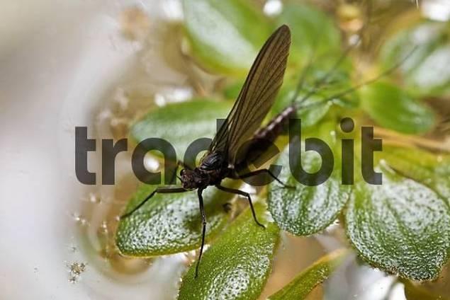 mayfly, ephemera, Ephemeropteridae, Germany