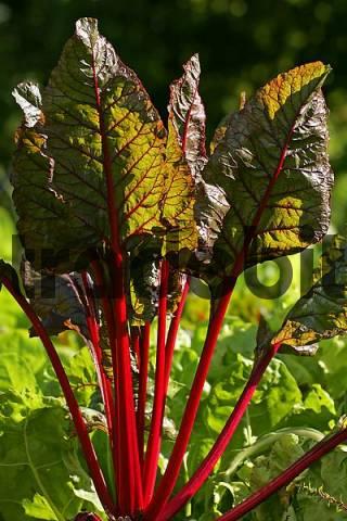 chard plant cultivar Rhubarb Chard - leaf beet - foliage beet - swiss chard - vegetable - Beta vulgaris var. cicla
