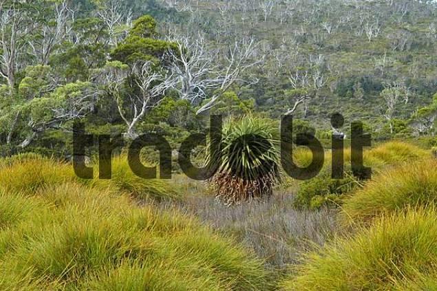 details of bush near Lake Windermere on Overland Track in Cradle Mountain Lake St Clair Nationalpark Tasmania Australia