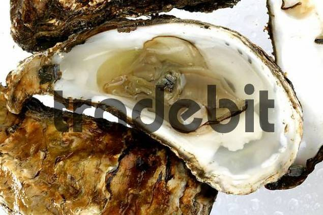 oysters on wet white background