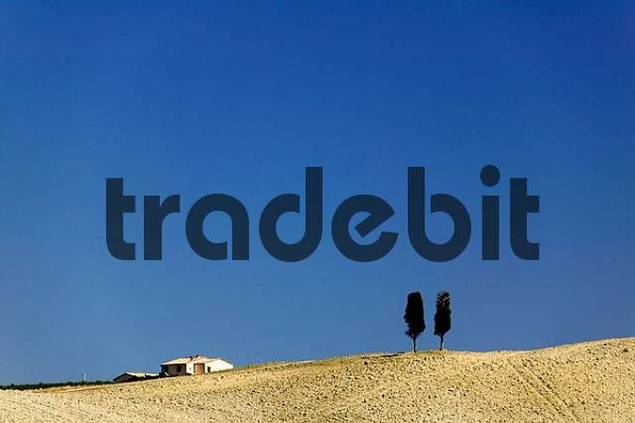 cypresses in front of blue sky in Tuscany, Italy