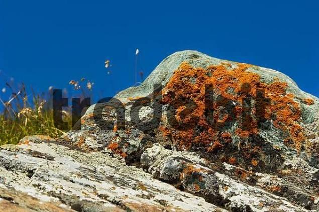 lichen on rocky underground, national park Hohe Tauern, Carinthia, Austria