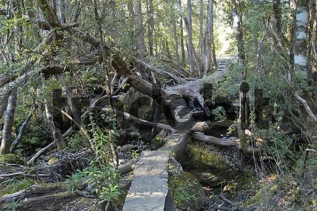 board walk across trees in Pine Valley on Overland Track in Cradle Mountain Lake St Clair Nationalpark Tasmania Australia