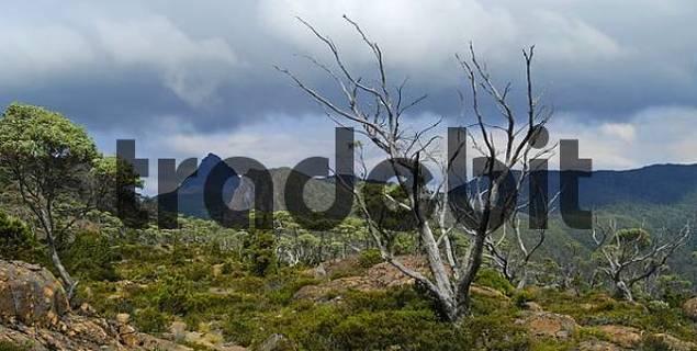 The Labyrinth near Pine Valley on Overland Track in Cradle Mountain Lake St Clair Nationalpark Tasmania Australia