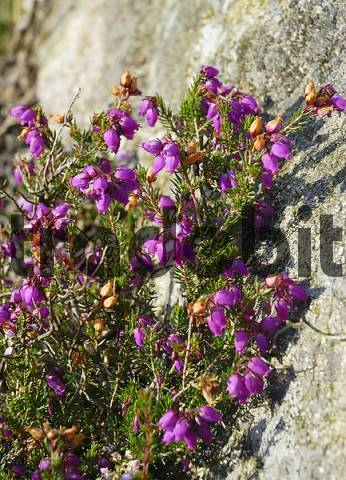 Flowering heath is growing close to granite rock Ireland