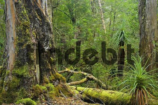 rainforest with Pandanus trees Richea Pandanifolia in Pine Valley on Overland Track in Cradle Mountain Lake St Clair Nationalpark Tasmania Australia