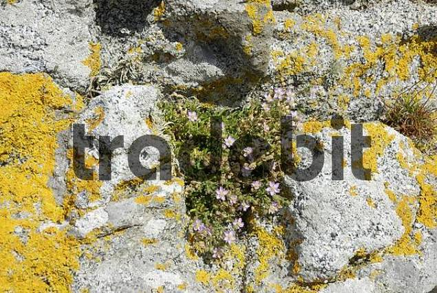 Bright yellow lichen and Crassulaceae specy cling to the surface of granite rock