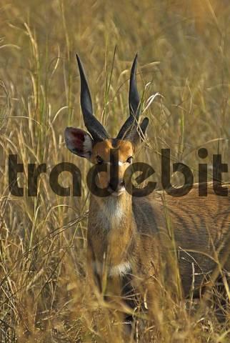 Bushbuck, Tragelaphus scriptus, Gorongosa National Park, Mozambique, Africa
