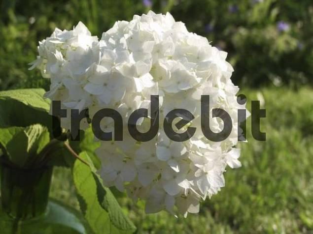 flower umbel of the Hydrangea Hydrangea macrophylla