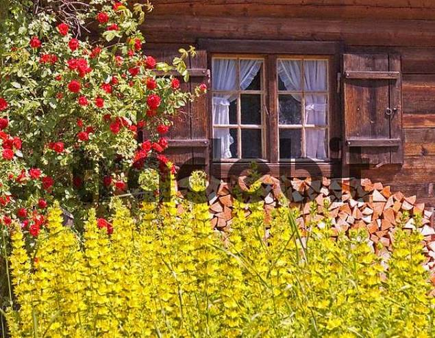 Germany Bavaria Upper Bavaria Linderhof old Farmhouse Wooden house Window with wooden Window shutter red Rosebush yellow Flowers Firewood