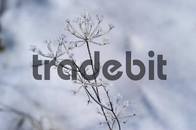 Umbella with hoarforst
