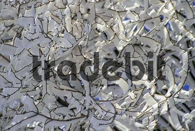 Twigs with thick hoarfrost long spikes of ice, Erzgebirge Ore Mountains, Saxony, Germany