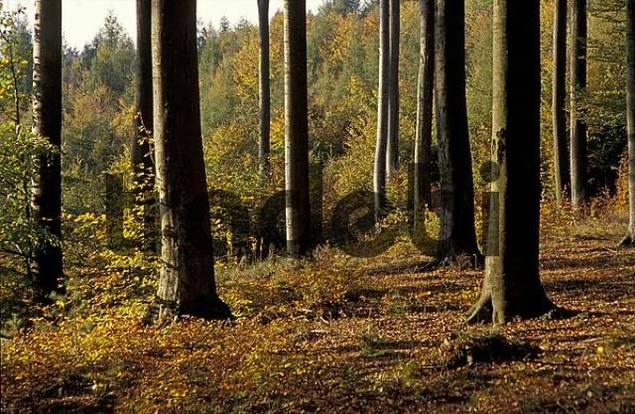 Clearing in an autumn beech-forest, trunks in afternoon sunlight Schurwald, Rems-Murr district / county, Baden-Wuerttemberg, Germany
