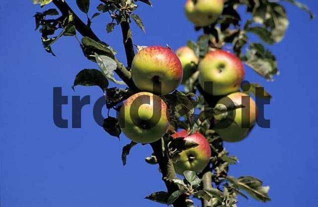 Red apples hanging on tree, orchard in Wieslauf valley, Rems-Murr district / county, Baden-Wuerttemberg, Germany