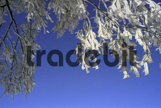 Twigs with thick hoarfrost against deep blue sky, Erzgebirge Ore Mountains, Saxony, Germany