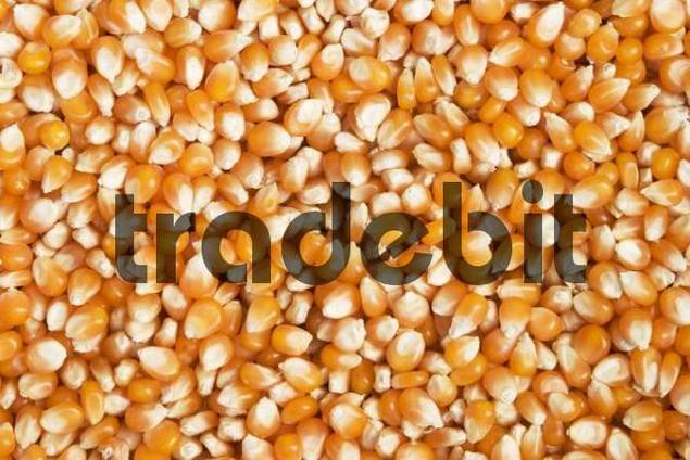 Dried maize grain