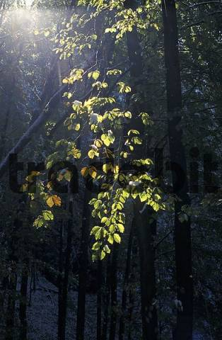 Autumn leaves on beech-tree in back light with first snow in forest near Epps, Tyrol, Austria