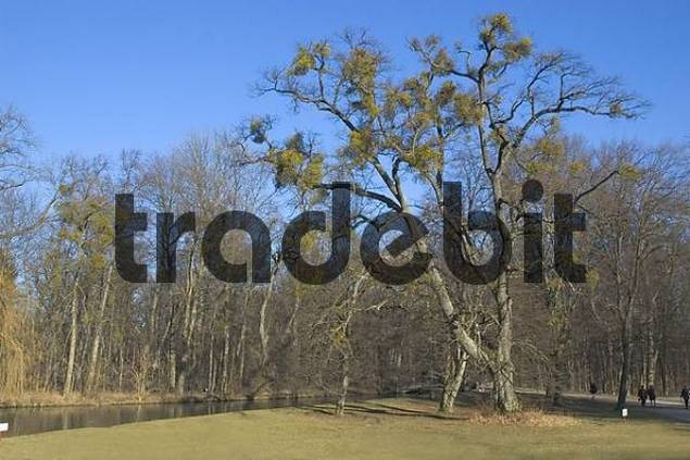 decidious tree with many mistletoes in the park of castle Nymphenburg in Munich