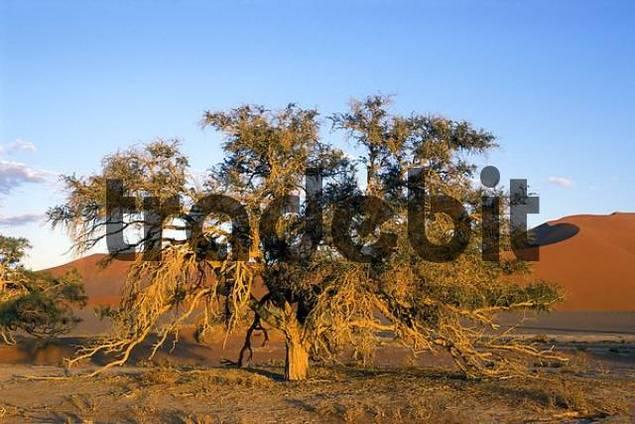 Tree in morning light at Sossus Vlei Namibia