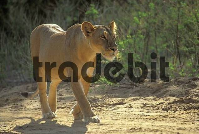 Walking lioness Panthera leo Samburu National Reserve Kenya