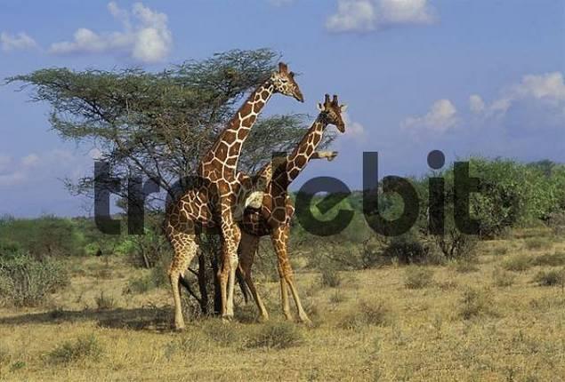 fighting reticulated giraffes giraffa camelopardalis