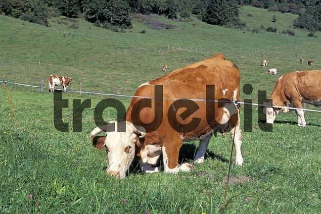 Cow on her knees eating Bavaria Germany