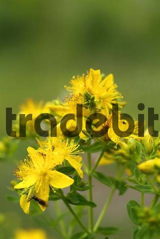 the medical uses of the hypericum perforatum stjohns wort Recommended st johns wort  herb pharm's st john's wort/hypericum perforatum 1oz  university of maryland medical center, st john's wort.