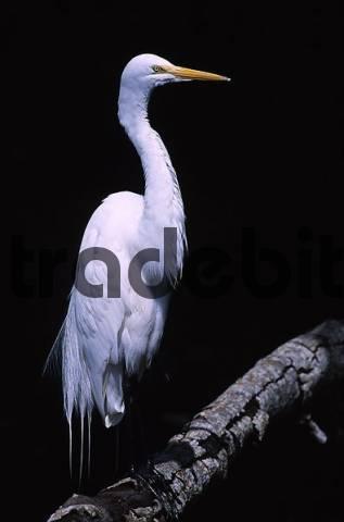 Casmerodius albus