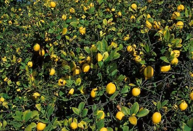 lemon tree Spain