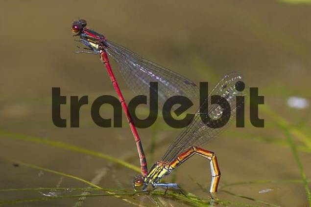 Large Red Damselfly  Pyrrhosoma nymphula  pairing - Bavaria - Germany