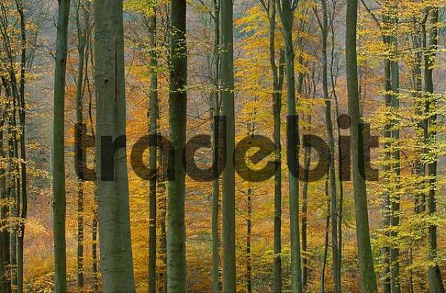 autumn forest Spessart Franconia Germany
