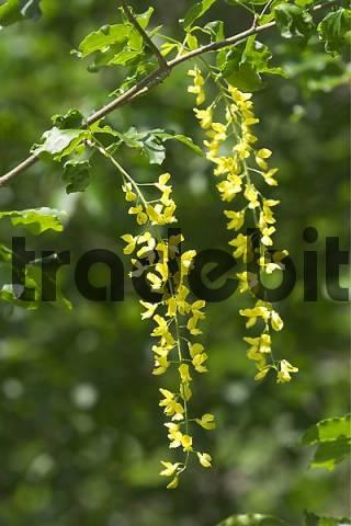 Alpine Laburnum  Laburnum alpinum  - bloom - Slovenia