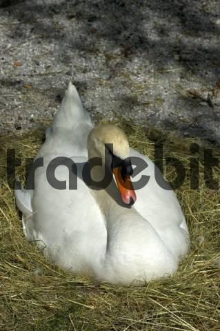 Breeding mute swan Cygnus olor