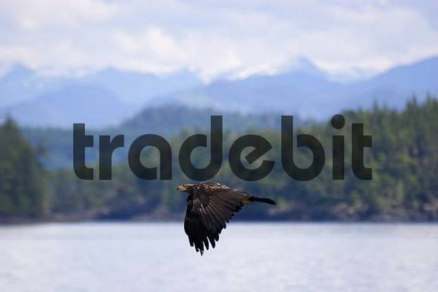 juvenile bald eagle flying over the water