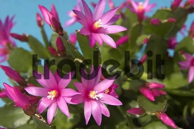 Easter cactus Rhipsalidopsis