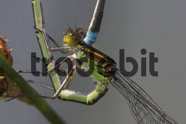Female Red-eyed damselfly  Erythromma najas  - mating wheel